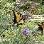 Butterfly garden at Laytonsville UMC